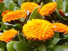 annual plant, calendula, flower, plant, herb, flora,