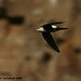 White-throated Swift - Photo (c) Michael Woodruff, some rights reserved (CC BY)