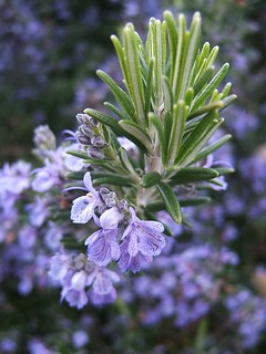 Flowering Rosemary by THOR, on flickr