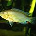 Pseudocrenilabrus multicolor Victoriae Spawning