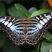Malaysian Blue Clipper by Tommy Simms