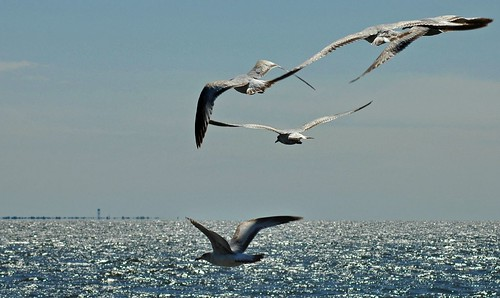 seagulls over the bay by Alida's Photos