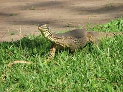 crocodile(0.0), lacerta(0.0), lacertidae(0.0), alligator(0.0), crocodilia(0.0), animal(1.0), reptile(1.0), lizard(1.0), fauna(1.0), scaled reptile(1.0), wildlife(1.0),