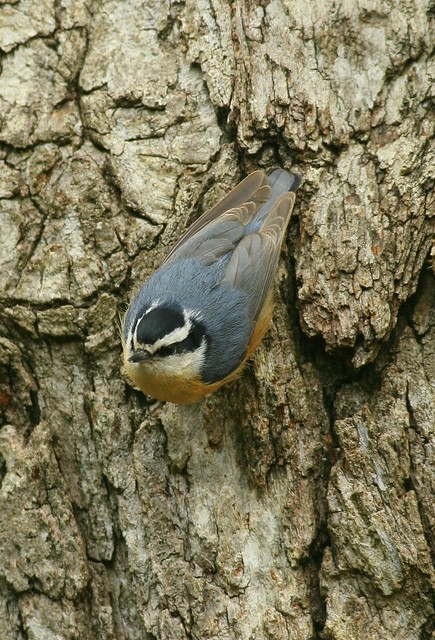 Red-breasted Nuthatch (on oak bark)