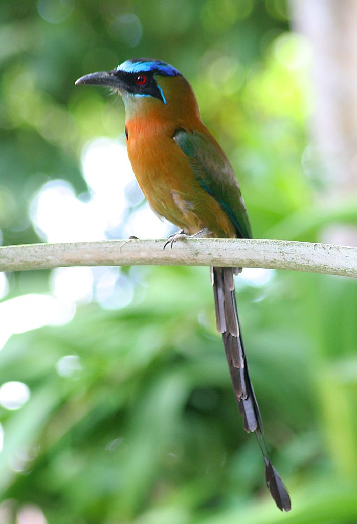 Imagen de una de las aves del Quindio: Barranquero Coronado (Momotus Momota)