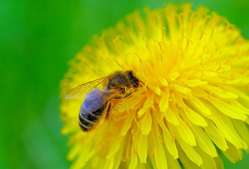 Diving honeybee