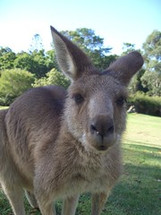 wallaby(0.0), kangaroo(0.0), musk deer(0.0), animal(1.0), marsupial(1.0), mammal(1.0), fauna(1.0), wildlife(1.0),