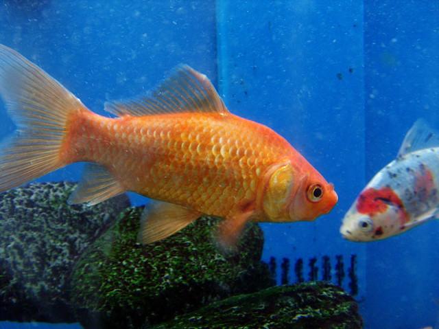 Goldfish koi flickr photo sharing for Sick koi fish