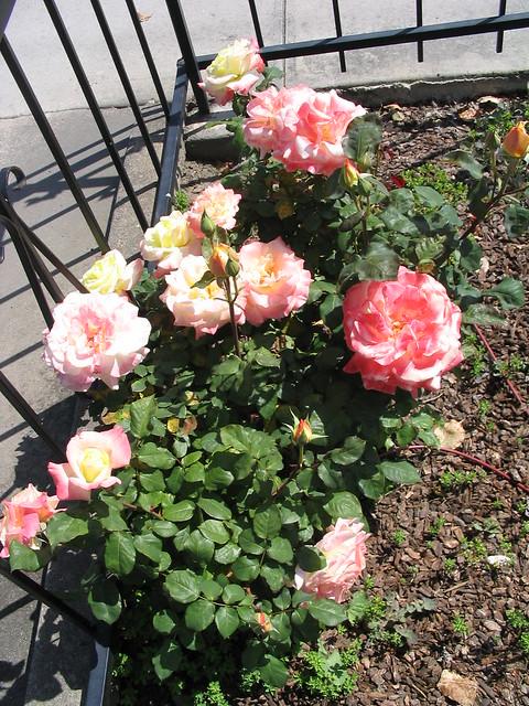 Multi color rose bush flickr photo sharing for Multi colored rose bushes