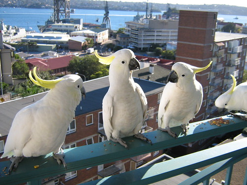 Cockatoos at breakfast