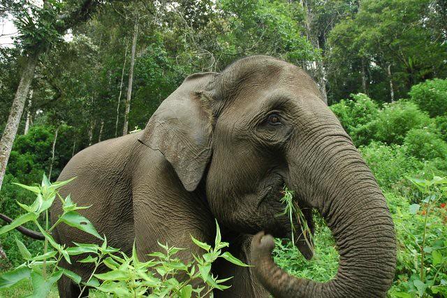 photoSumatran Elephant