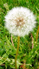 dandelion, flower, grass, nature, macro photography, wildflower, flora, close-up, plant stem,
