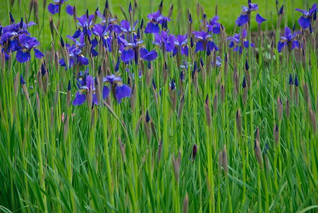 blue iris chanticleer garden philadelphia pa flickr. Black Bedroom Furniture Sets. Home Design Ideas