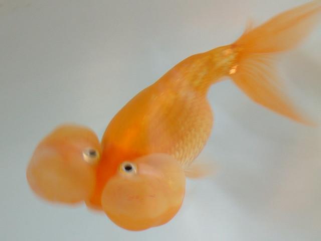 Bubble-Eye Goldfish Flickr - Photo Sharing!