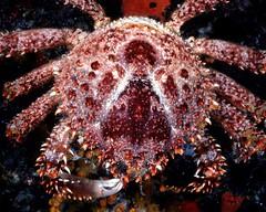 food(0.0), crab(1.0), animal(1.0), crustacean(1.0), seafood(1.0), organism(1.0), marine biology(1.0), invertebrate(1.0), king crab(1.0), fauna(1.0),