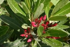 blossom(0.0), evergreen(0.0), produce(0.0), aquifoliaceae(0.0), aquifoliales(0.0), shrub(1.0), pistacia lentiscus(1.0), flower(1.0), leaf(1.0), flora(1.0),