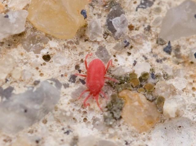 tiny red bug flickr photo sharing. Black Bedroom Furniture Sets. Home Design Ideas