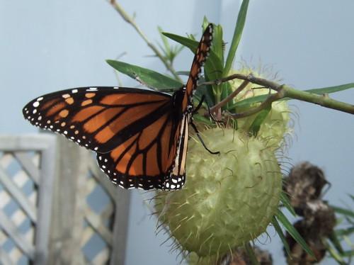 Monarch butterflies flying away - photo#2