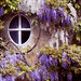Woodstock wysteria window