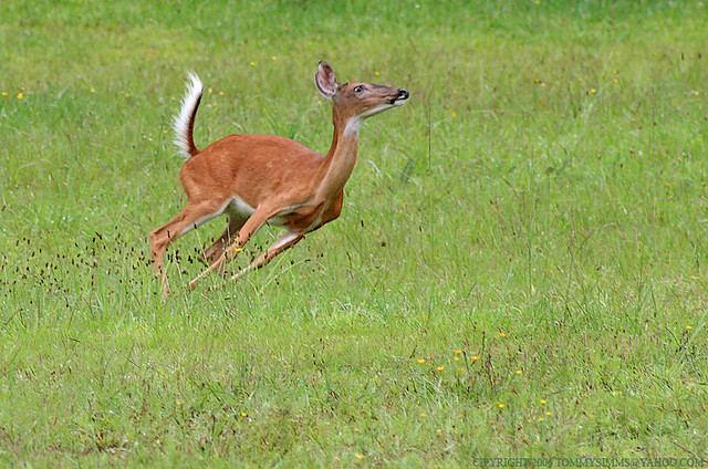 Running Deer | Flickr - Photo Sharing!