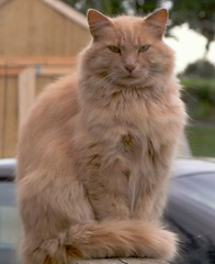 domestic long-haired cat, animal, maine coon, small to medium-sized cats, siberian, cat, carnivoran, whiskers, norwegian forest cat,