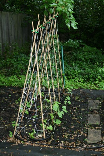 Trellis In Garden This Trellis Is Made Of Bamboo Poles