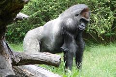gorilla, defiant