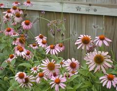 annual plant, flower, plant, wildflower, flora, purple coneflower, petal,