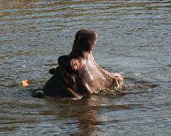 Hippo yawns