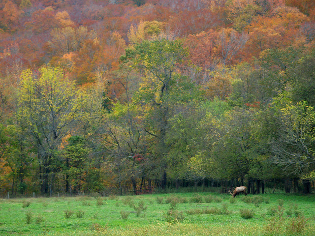 Elk in Boxley Valley