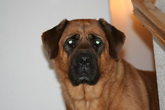 puppy(0.0), leonberger(0.0), dog breed(1.0), animal(1.0), broholmer(1.0), dog(1.0), tosa(1.0), pet(1.0), guard dog(1.0), carnivoran(1.0), bullmastiff(1.0),