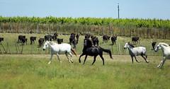 Les galops des chevaux
