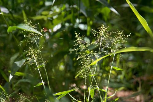 01538 Anne's Rosette Panic Grass