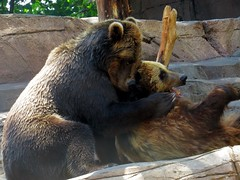 This is one bear who loves to give bear hugs.
