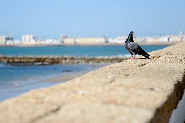 Una paloma apoyada en la piedra ostionera del paseo marítimo de Cádiz