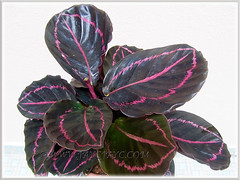 Calathea roseopicta 'Dottie' (Calathea Dottie, Rose-painted Calathea Dottie, Rose-painted Prayer Plant Dottie) with marvellous pink markings, July 8 2015