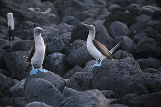 Blue footed Boobies.  Galapagos Islands, Ecuador.