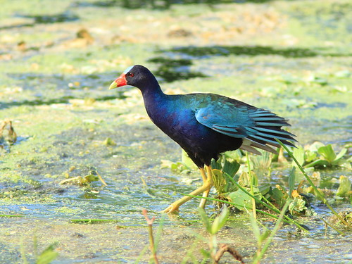 Purple Gallinule 2-20150722