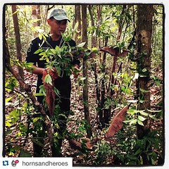 #Repost @hornsandheroes ・・・ Rhino Protection Unit on patrol finding a snare set by poachers. This one was large, meant for a rhino. #irf #hornsandheroesproject #srs #rhinos #rhinoprotectionunit #saverhinos #internationalrhinofoundation #indonesia #sumatra
