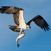Osprey by Melissa James Photography