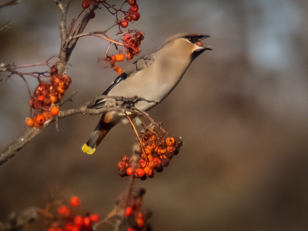 Waxwing with Berry in Mouth