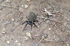 arthropod, animal, spider, invertebrate, insect, fauna, wildlife,