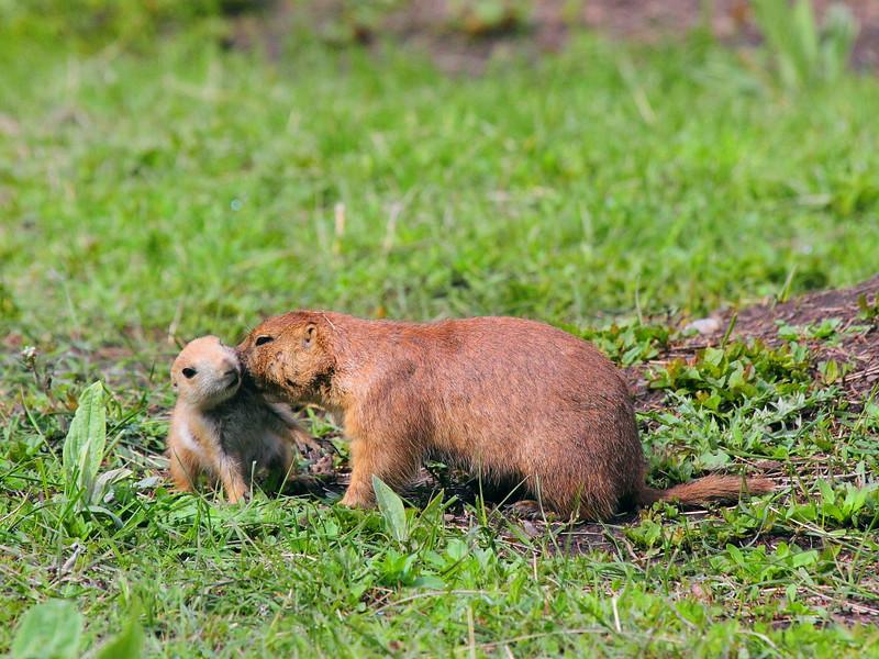 IMG_9815 Black-Tailed Prairie Dog, Custer State Park
