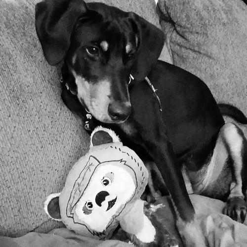 Just a girl and her #ewok  #puppygram #instapuppy #starwars #petco #rescuedpuppiesofinstagram #dobermanpuppy #puppylove #dobiemix #puppiesofinstagram #rescuedismyfavoritebreed #adoptdontshop #dogtoys #puppyplaytime #happypuppy #petcostarwarscollection