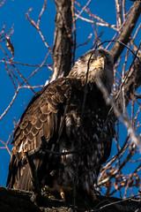 Juvy Bald Eagle
