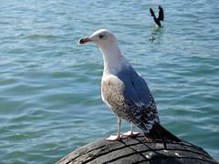 Turkey (Istanbul)- Sea Gull