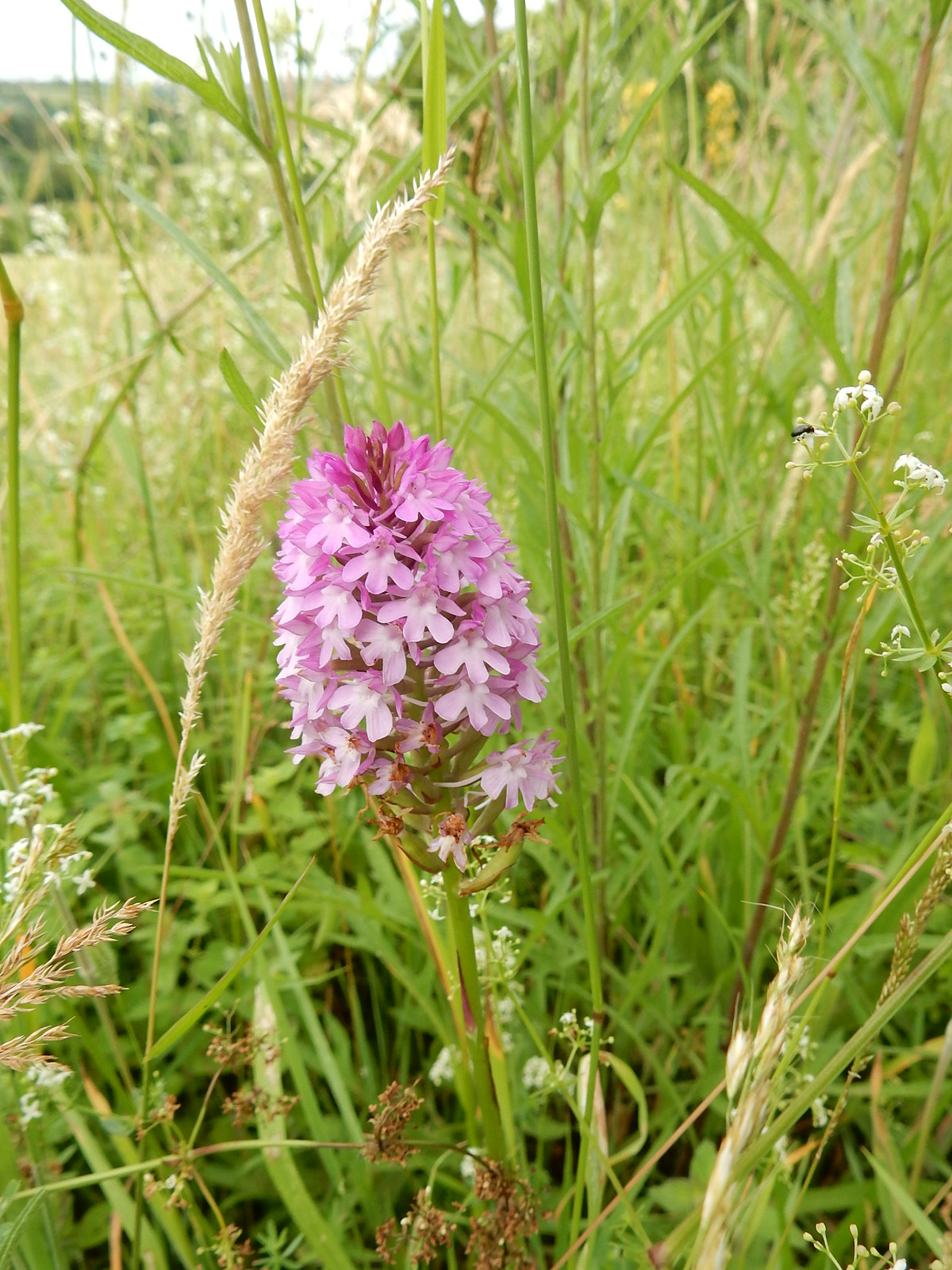 Orchid Saunderton Circular via West Wycombe