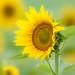 Sunflower by Gordon Magee