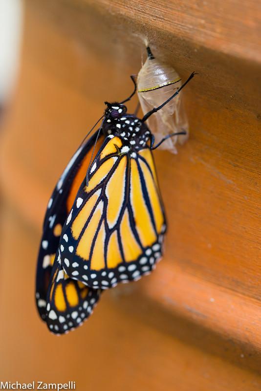 Monarchs-074
