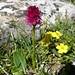 Nigritella rubra (Kerrie Porteous)